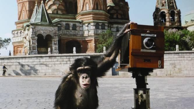 Kijk eens naar het aapje: foto's door chimpansee brengen 59.000 euro op
