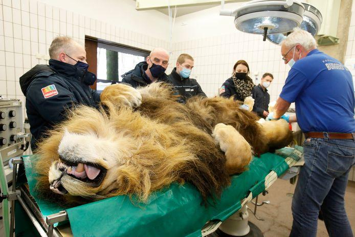 Onder leiding van dierenarts Henk Luten (rechts) is Thor, de 12-jarige mannetjesleeuw van het Arnhemse dierenpark Burgers' Zoo, gisteren ontdaan van zijn mannelijkheid.