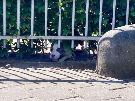 Pitbull bijt verschillende mensen op Spinveld in Breda