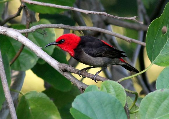Een afbeelding van de 'Myzomela irianawidodoae'.