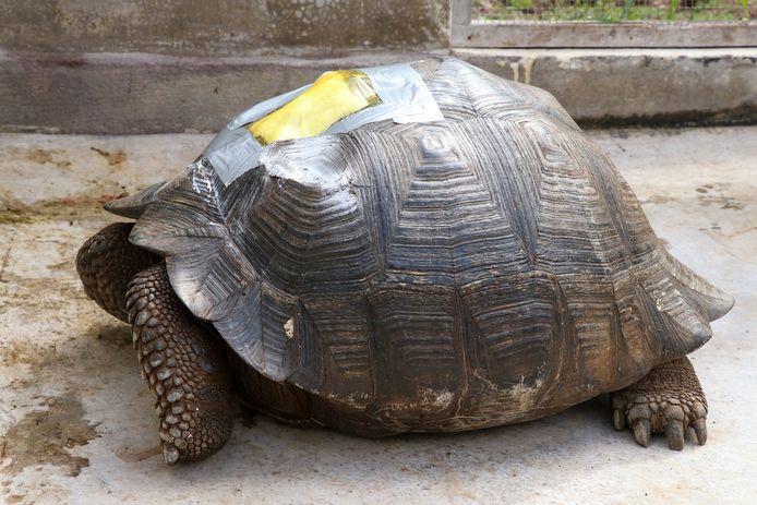 Het schild van het reuzenschildpad raakte beschadigd.