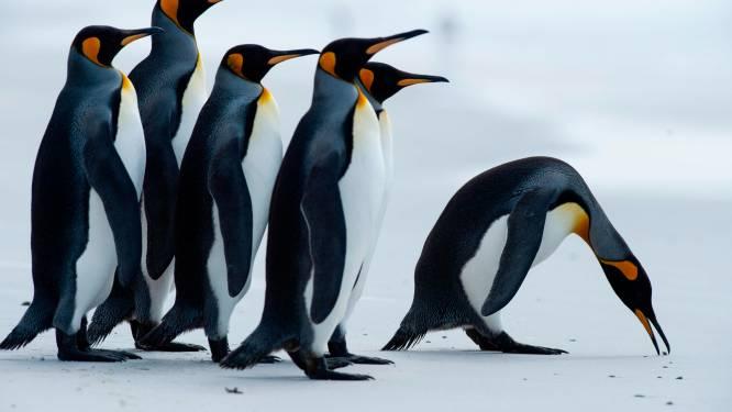 Enorme hoeveelheid lachgas in uitwerpselen van pinguïns doet onderzoekers duizelen