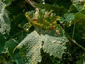 """Schimmelziekte treft wijnbouwers in Heuvelland: """"Valse meeldauw leidt tot 30 procent minder druiven"""""""