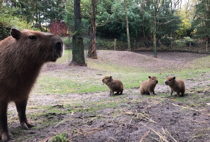 Capibara met drie jongen.
