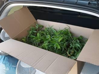 Recherche start ontmanteling cannabisplantage met straatwaarde van 280.000 euro