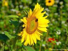 Lint van vier kilometer zonnebloemen verfraait maïsvelden Lochem