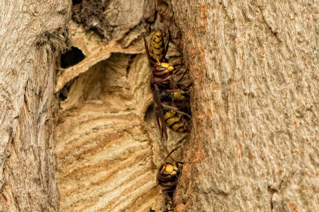 Nest van hoornaars in acacia op Huis Ter Heide