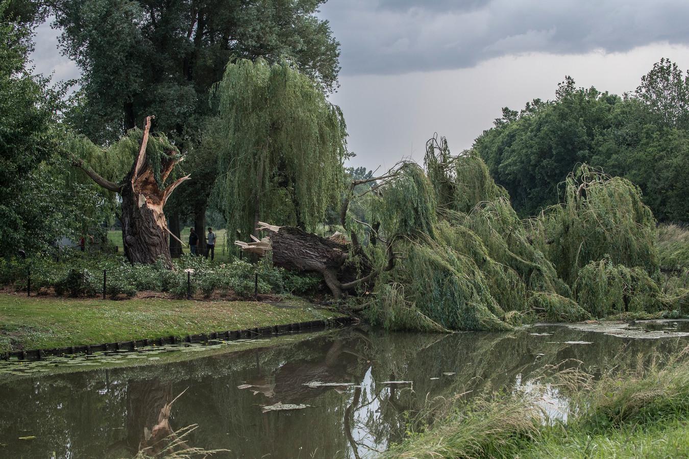 In Zoelen bij Tiel sneuvelde deze boom op 18 juni