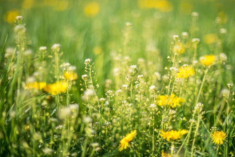 Volgens Hooikoortsradar.nl zijn er 'extreem veel pollen' in de lucht.  Beeld Getty Images