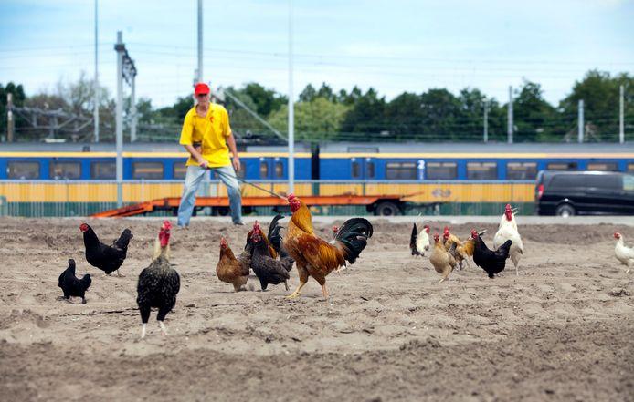 Archieffoto van kippen bij Binckhorst