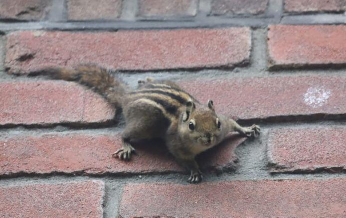 De gestreepte eekhoorn in de Ridderstraat in Oss.