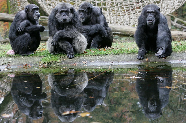 Een chimpanseefamilie in de Arnhemse Burgers' Zoo.