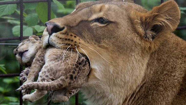 De leeuwin Raya liep woensdag met een welpje in haar bek in GaiaZOO Beeld anp