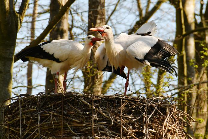 In Staphorst werd het voorstel om het Reestdal aan te wijzen als Natura 2000-gebied, een goede zaak voor de ooievaar, bepaald niet met enthousiasme ontvangen.