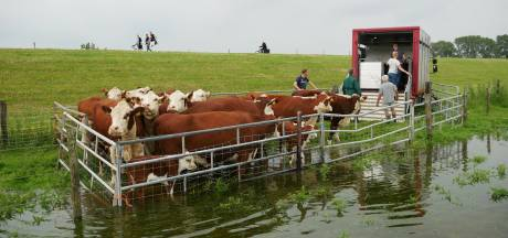 Aanstormend hoogwater IJssel: koeien met kalveren geëvacueerd uit de uiterwaarden