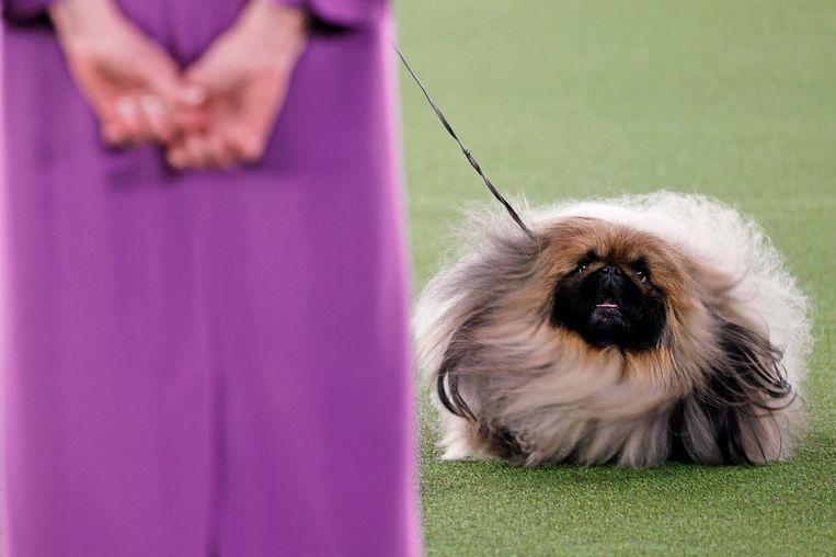 De pekinees Wasabi stal de show in de befaamde hondenwedstrijd. Beeld Getty Images