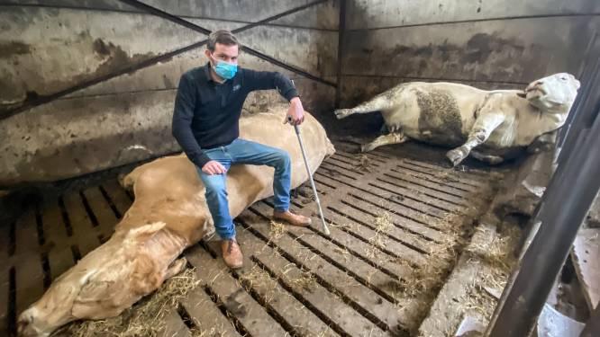 """Boer slaapt in stal nadat 8 van zijn koeien vergiftigd werden: """"Hoe wreed kunnen mensen wel zijn?"""""""