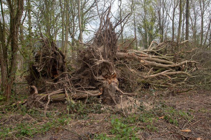 Een deel van de bomen raakte ontworteld door een storm en werden opgeruimd.