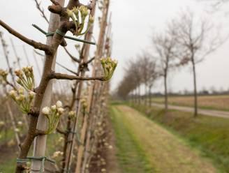 """""""Voorlopig nog geen slapeloze nachten"""": plotse winterprik zorgt nog niet voor schade aan fruitbomen"""