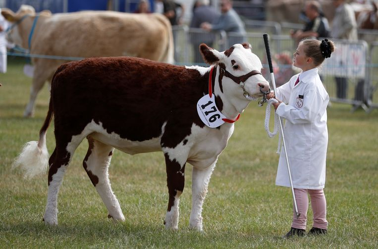Een Hereford-stier tijdens een veeshow in Engeland.  Beeld Reuters
