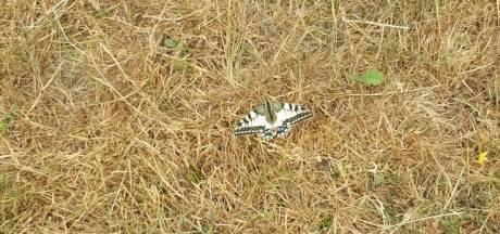 Grootste vlinder van Nederland gezien op Plantage Willem III