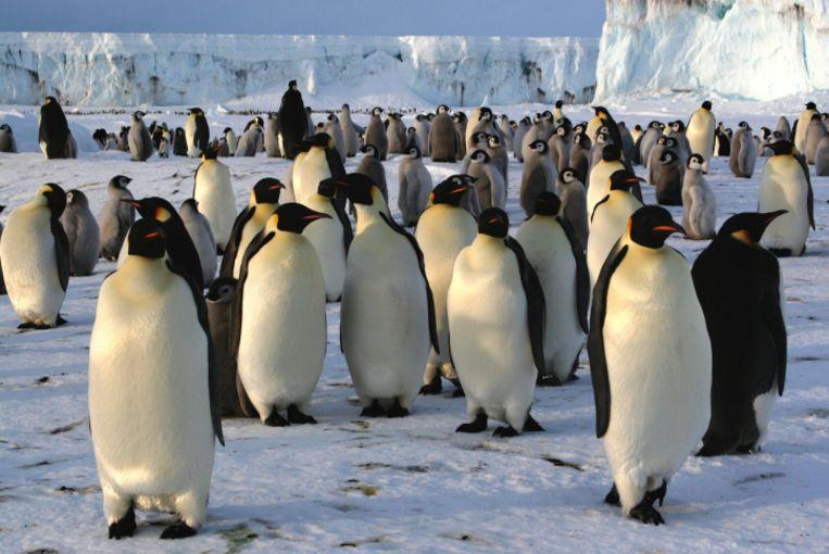 Een kolonie keizerpinguïns Beeld thinkstock