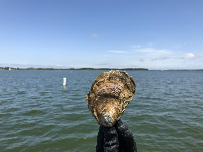 Crassostrea virginica tiert welig aan de oostkust van de Verenigde Staten.   Beeld Sarah Donelan
