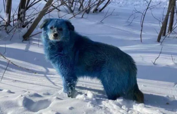 Un des chiens bleus de Russie.