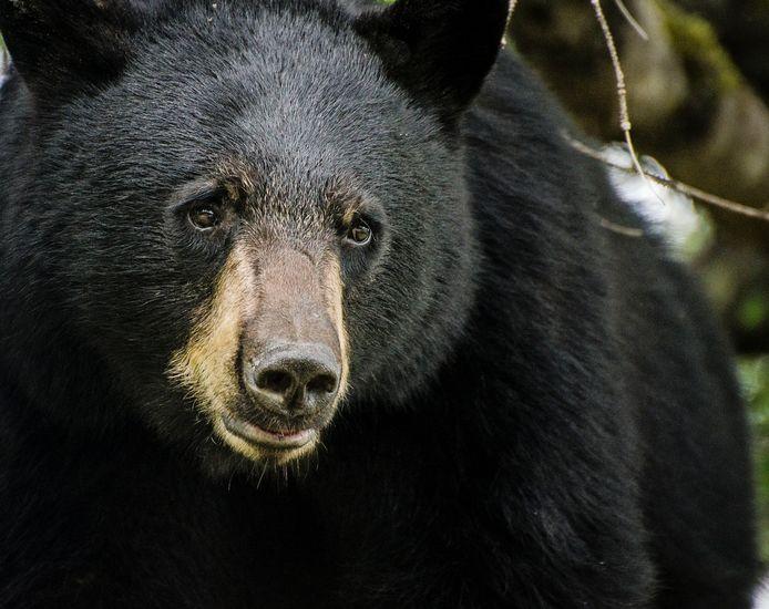 Image d'illustration d'un ours noir