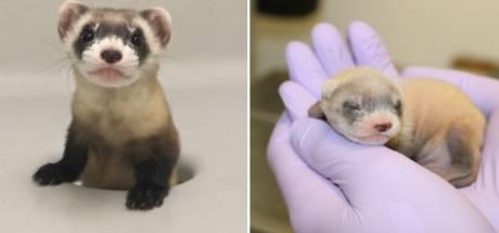 Une espèce en voie de disparition clonée pour la première fois aux États-Unis
