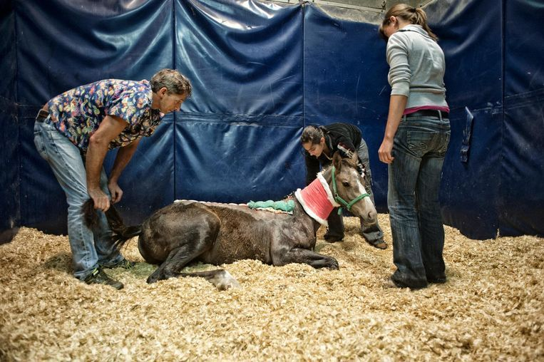 Een veulen is aan zijn been gesneden met een mes. Alles wijst in de richting van de paardenbeul.