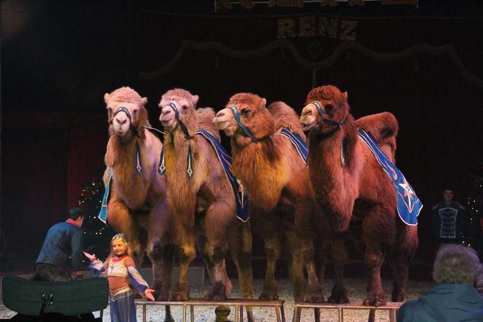 Siberische steppenkamelen bij Circus Renz.