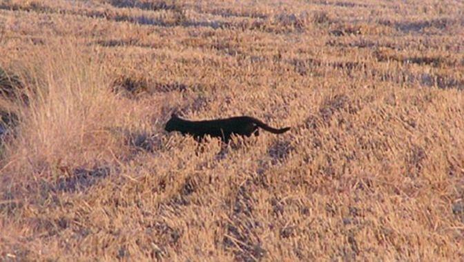 Cette photo capte la silhouette d'un félin aperçu dans la campagne du nord-ouest de Wiltshire, non loin des massacres.