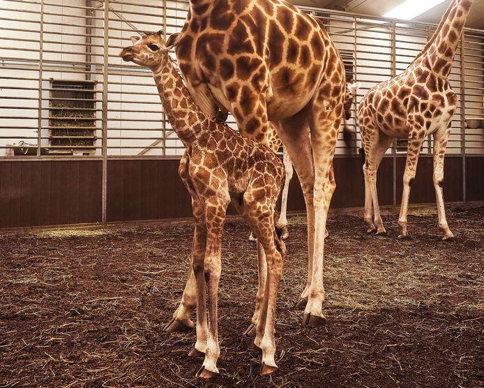 Pasgeboren giraffe in de Beekse Bergen.