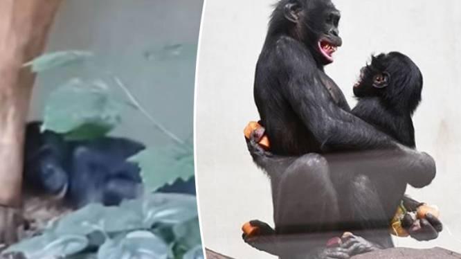 Bonobo die genadeloos werd gepest door soortgenoten in zoo heeft eindelijk vriendjes gevonden