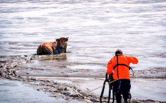 Samen met een boer werd bekeken hoe ze de koe van het wad kunnen krijgen.