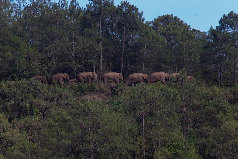 Een kudde van vijftien Aziatische olifanten trekt al een jaar door Zuid-China. Beeld VCG via Getty Images