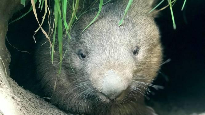 Familie Nooren in Lennisheuvel laat wombat-weesjes opgroeien: 'Eerst een poos laten wennen'