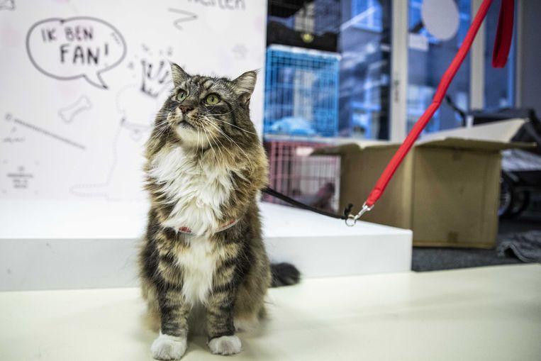 Een aangelijnde kat in Den Haag. Beeld ANP