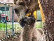 Circus Renz hoopt pasgeboren Hardenbergse kameel snel in Nederland te kunnen showen
