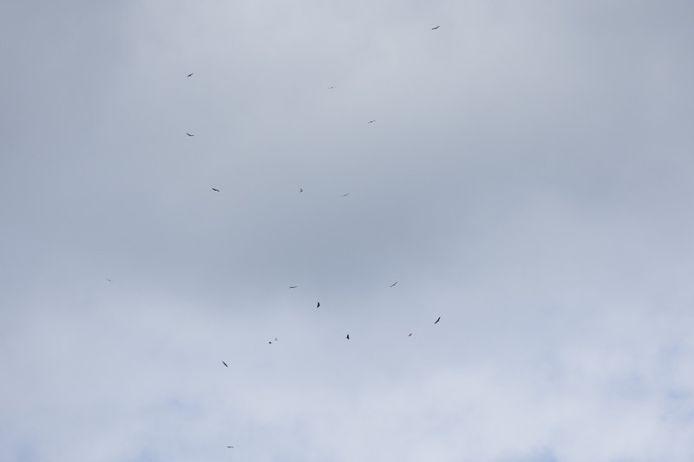 Vale gieren boven Gent