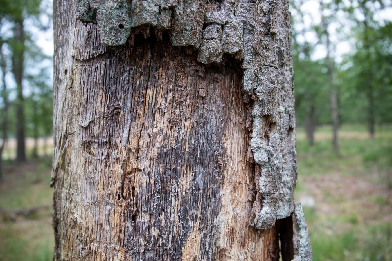 Oude eikenbomen sterven op de Veluwe af door te veel uitstoot van stikstof.