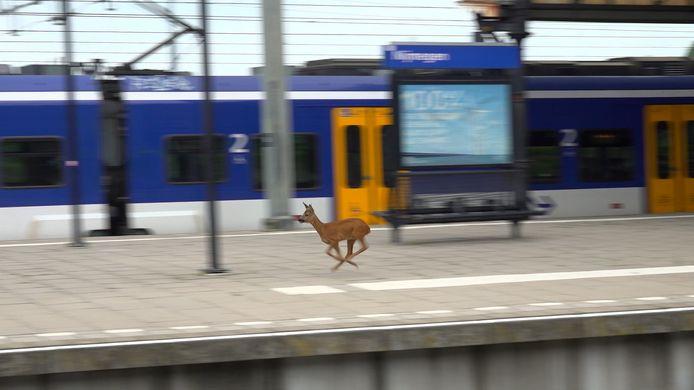 Een ree bezocht vrijdagmiddag het station van Nijmegen