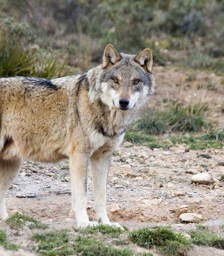 Nederlandse jager schiet wolf dood in Polen: 'Dacht dat het een vos was'