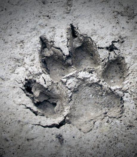 'Wolf van Zwillbrock' was inderdaad sledehond