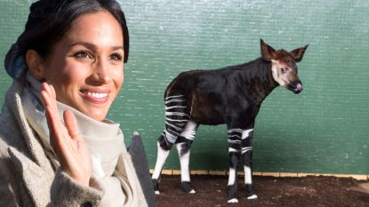 Schattig of bizar? London Zoo vernoemt pasgeboren Okapi naar Meghan Markle