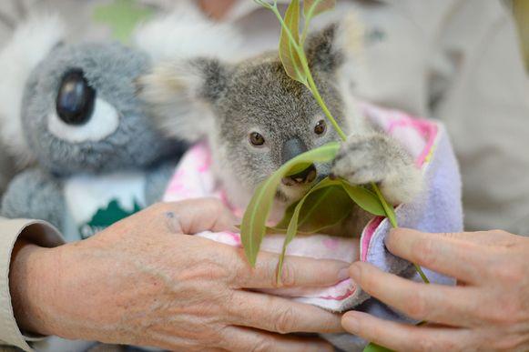 Een koala verwerkt het overlijden van zijn moeder met een pluchen replica. De moeder werd overreden (Archiefbeeld).