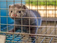 Bij Rios Mink in Rosmalen zijn na dertig jaar de laatste nertsen gevild. 'Heel blij dat het stopt'