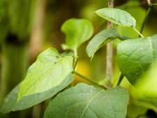 Borne zet meer in op bestrijden van exotische planten