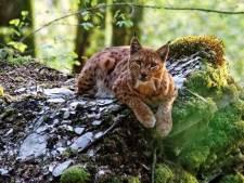 Un lynx observé à l'œil nu en Wallonie, une première en 300 ans